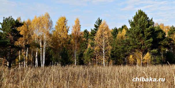 Бизнес на саженцах хвойных деревьев
