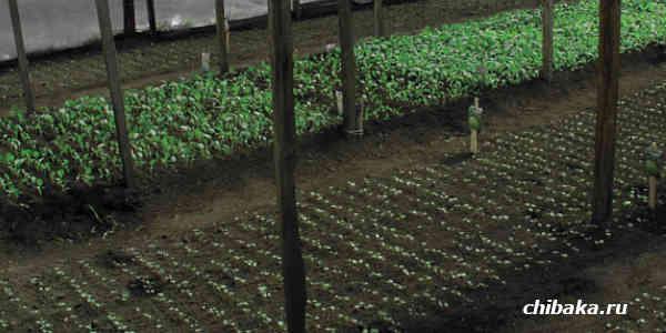 Выращивание рассады капусты на продажу