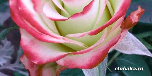 Как заработать на розах