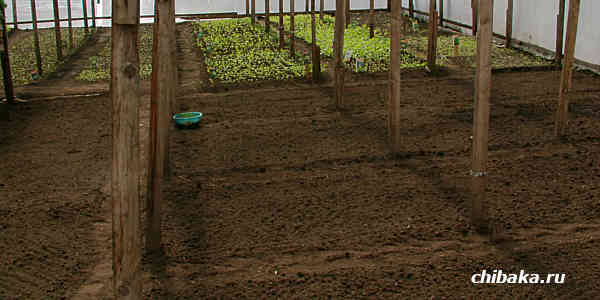 Когда сеять капусту