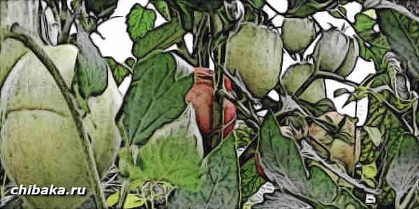 Бизнес на рассаде помидор