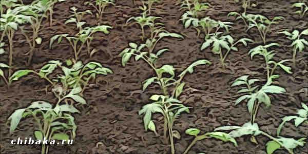 Как сеять помидоры