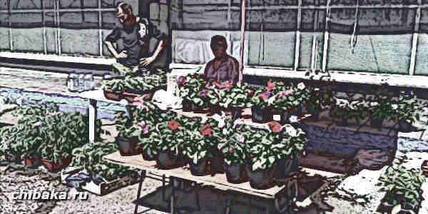 Торговля рассадой томатов