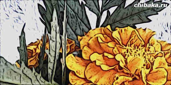 Условия выращивания бархатцев