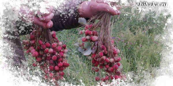 Заработать на сборе ягоды
