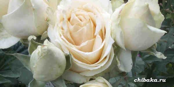 Можно ли черенковать розы