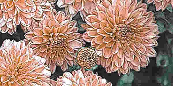 Можно ли черенковать хризантему