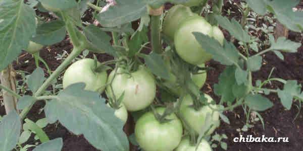 Нужно ли пасынковать помидоры