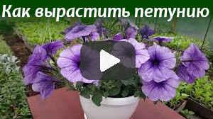 Как вырастить петунию (видео)