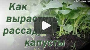 Выращивание-рассады-капусты