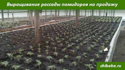 Выращивание рассады помидоров на продажу