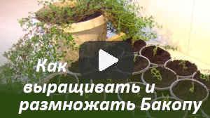 Как выращивать и размножать Бакопу