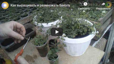 Размножение бакопы в домашних условиях