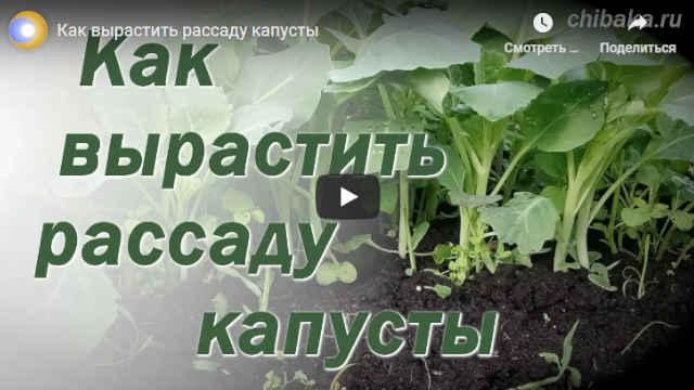 Видео Как вырастить рассаду капусты на продажу