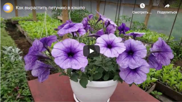 Видео как вырастить петунию