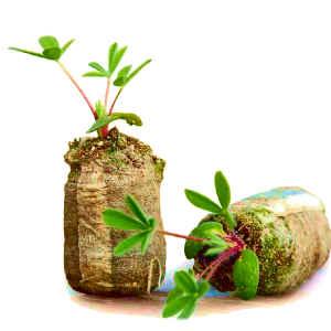 Семена в торфяных таблетках
